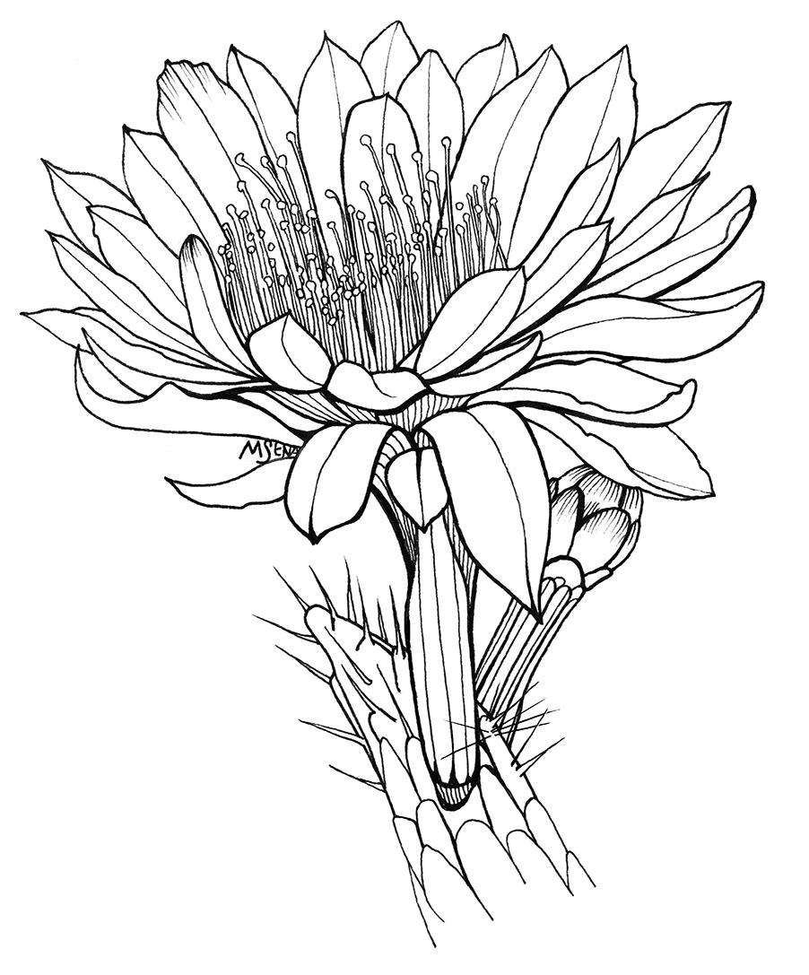 Line Drawing Cactus : Cactus flower drawing clipart best