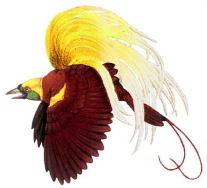 Songkokhijau Blogspot Com Hikayat Burung Cenderawasih Clipart Best Clipart Best