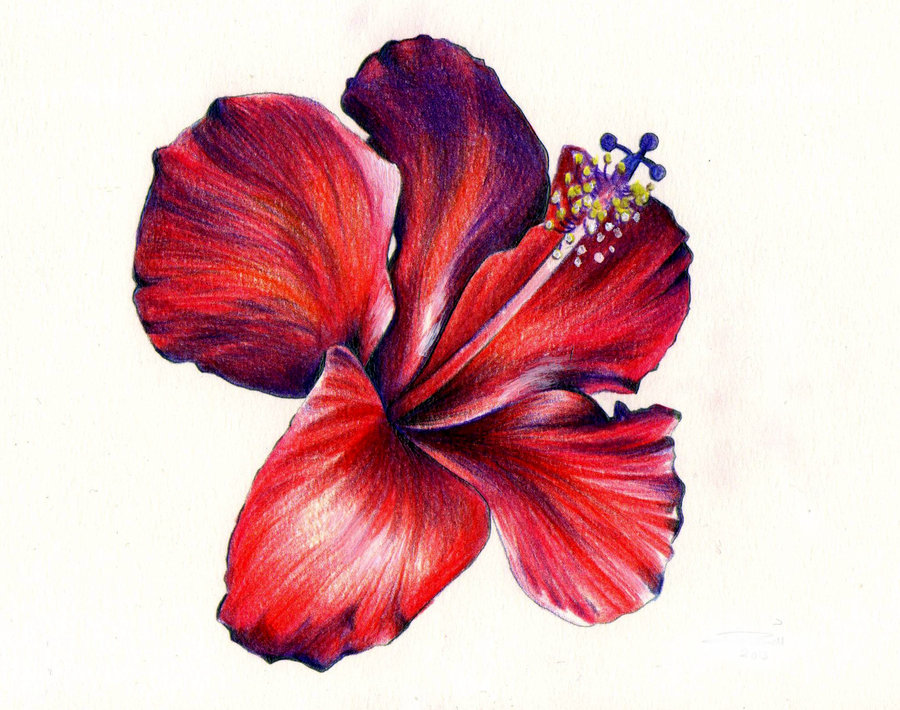 Hibiscus Drawings - ClipArt Best