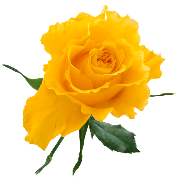 Transparent Yellow Rose - ClipArt Best - ClipArt Best