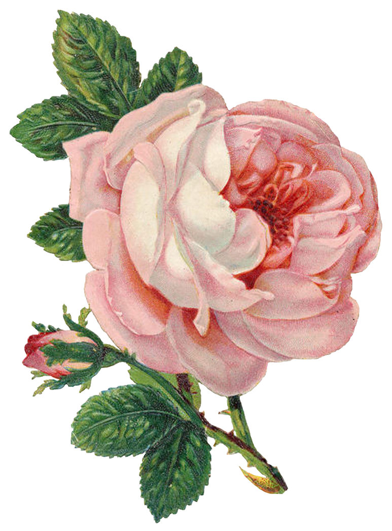 Rose Png - ClipArt Best