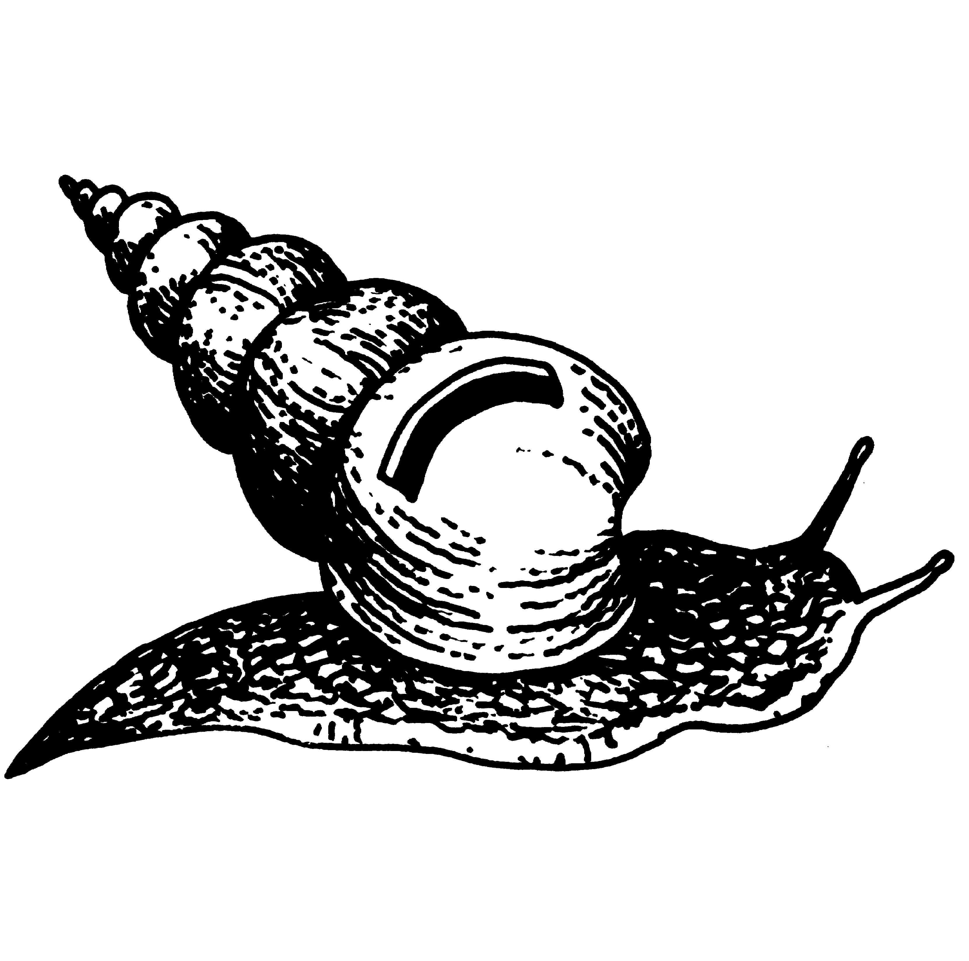 Snail Drawings Clipart Best