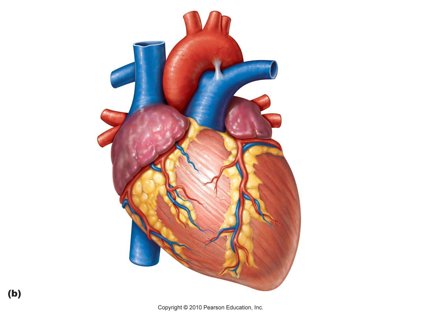 Real Heart Diagram Pinterest The World 39 S Catalog Of Ideas Clipart Best Clipart Best