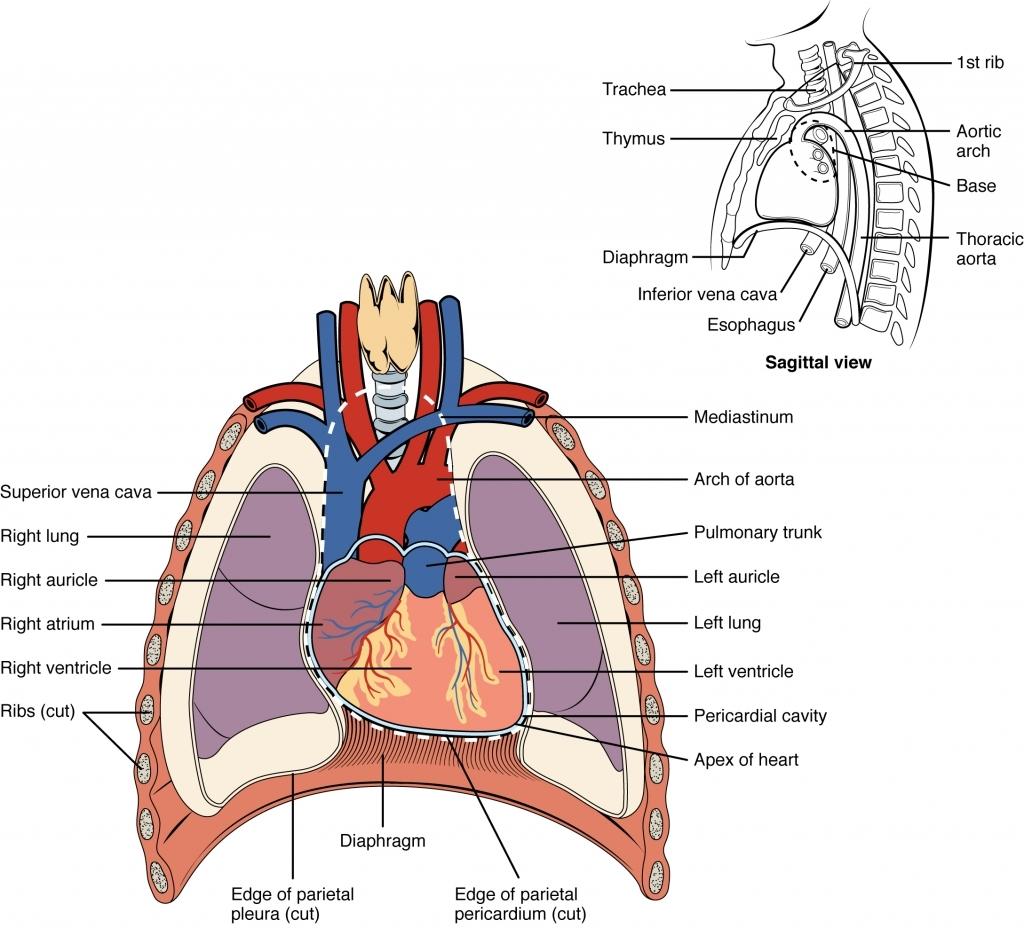 Internal Organs Diagram