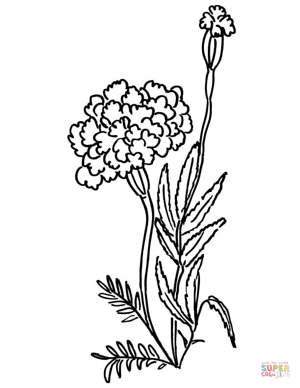 Marigold Flower Line Drawing : Marigold line drawing clipart best