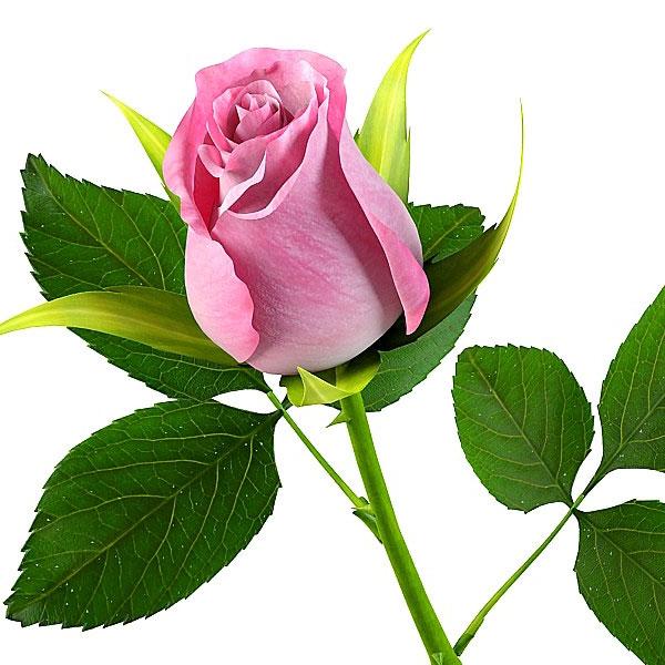 Foto gambar bunga mawar, anggrek, matahari, melati, dll