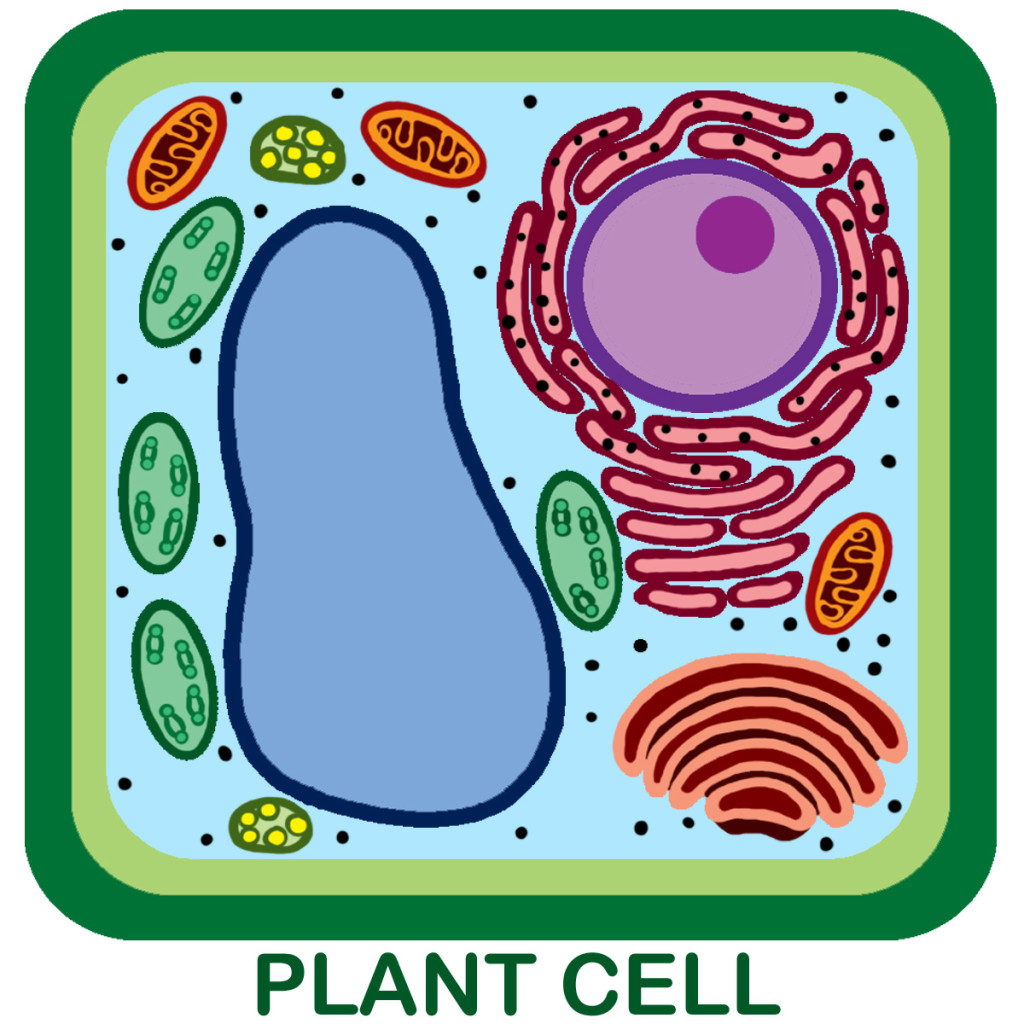 Plant Cell Unlabeled - ClipArt Best