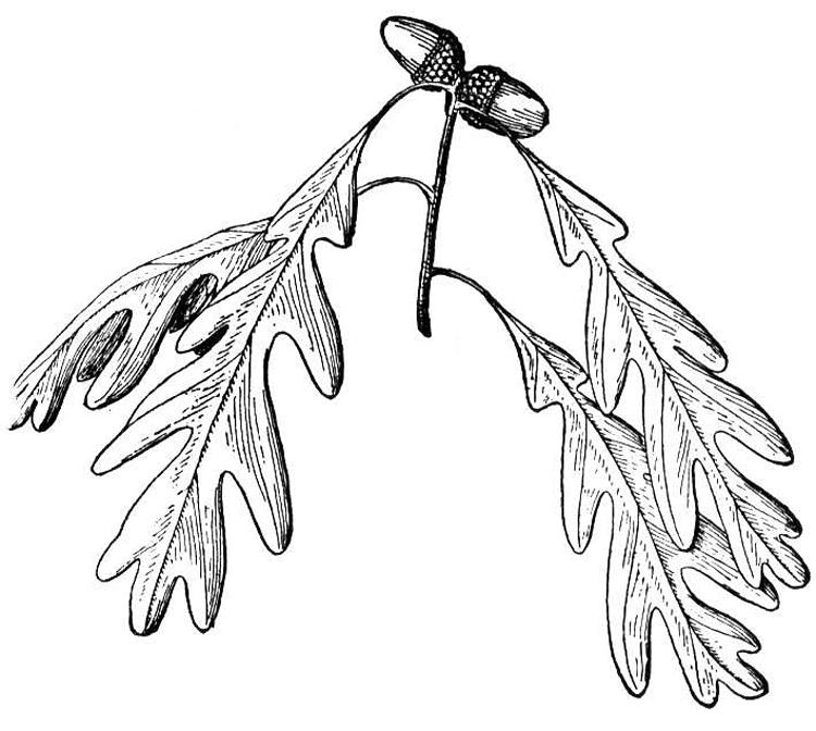 Zeus Oak Symbol The la...