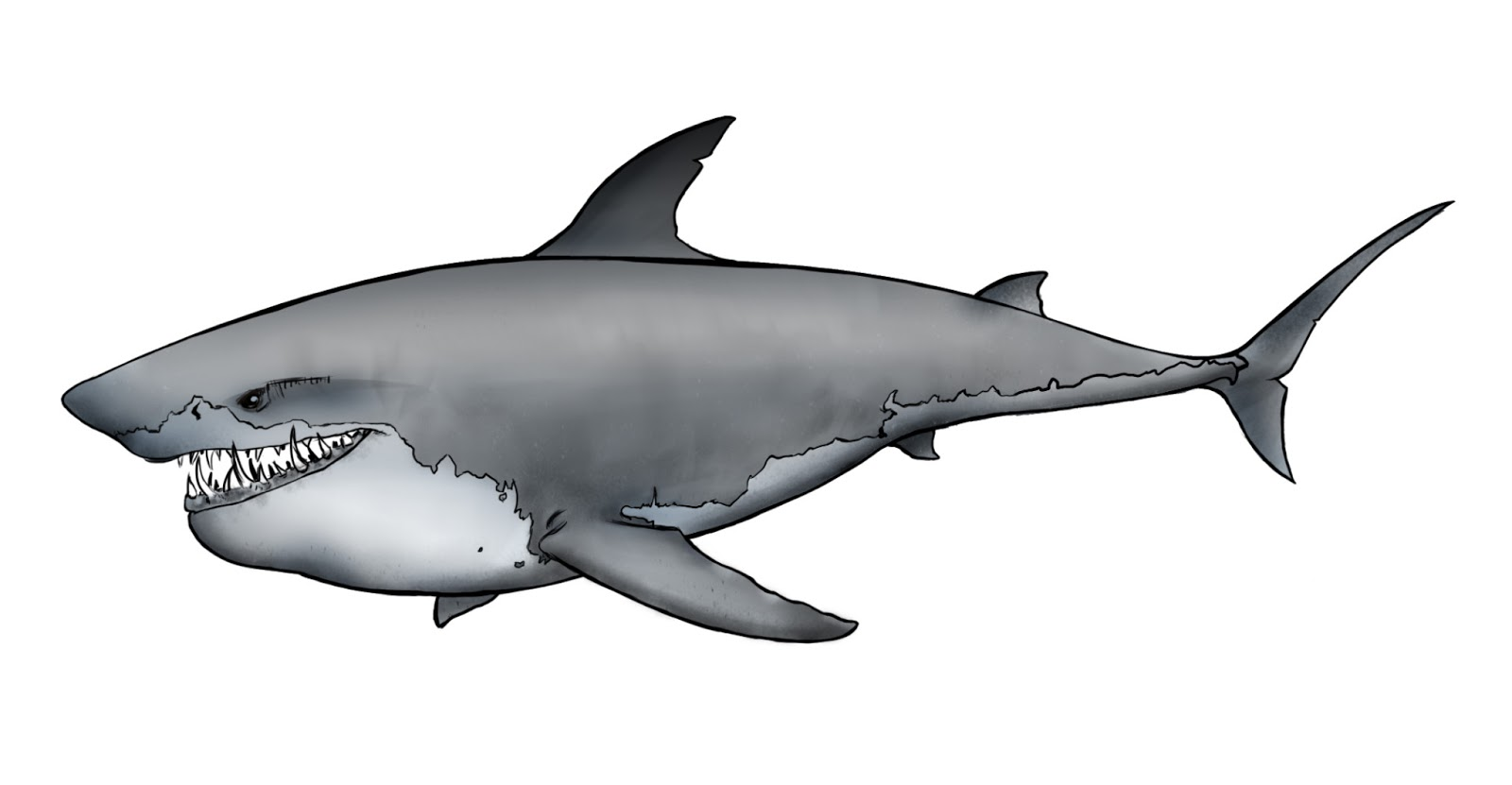 Line Drawing Shark : Shark line drawing clipart best