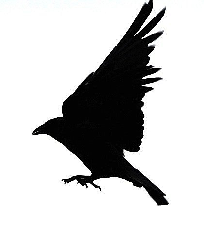 Black Bird Silhouette Flying - ClipArt Best
