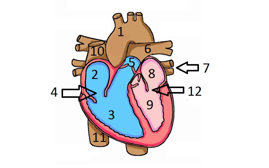 Human Heart Unlabeled - ClipArt Best
