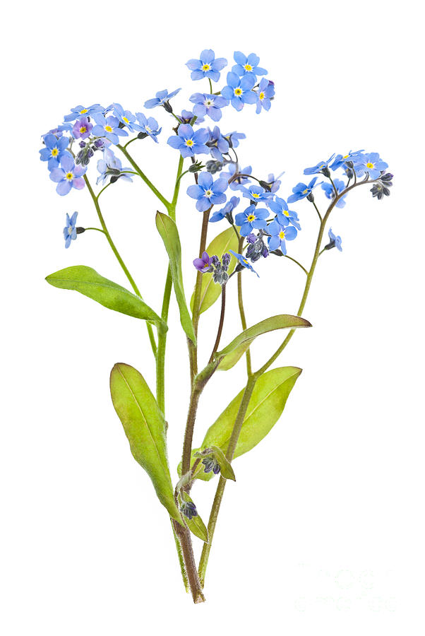 clip art forget me not flower - photo #25