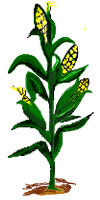 cartoon corn stalk clipart best