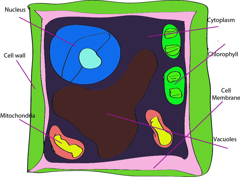 Plant Cell Labeled  Labeled Plant Cell