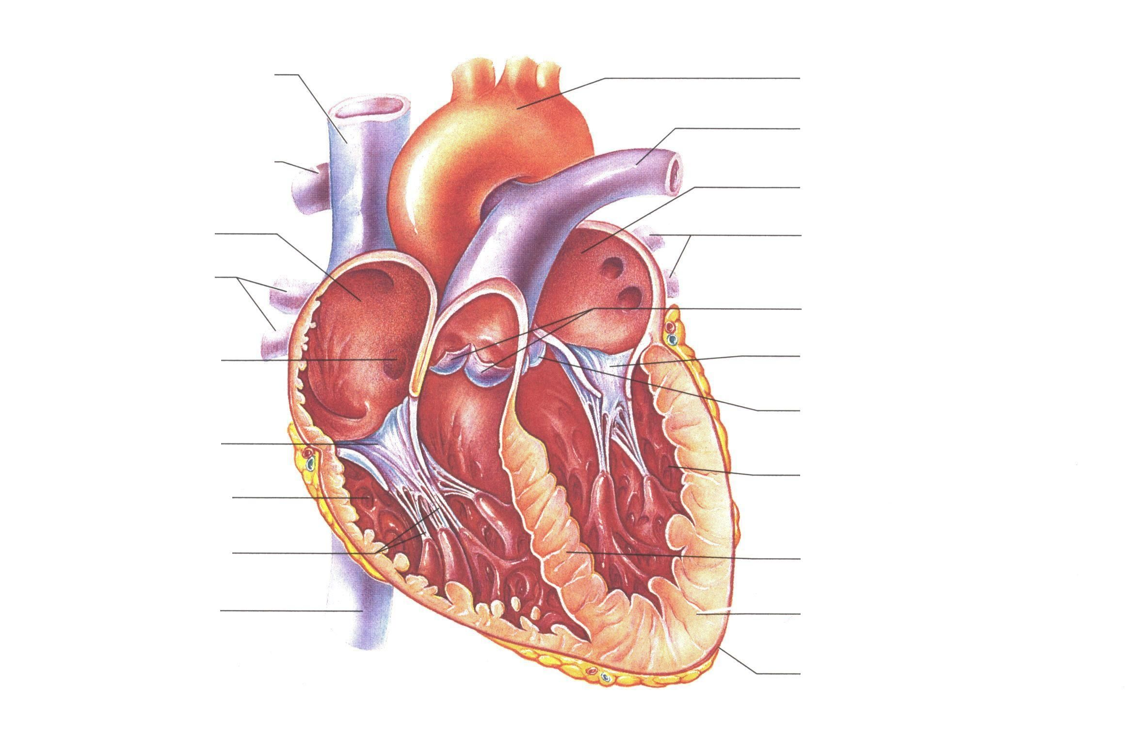 Unlabelled Diagram Of The Heart# - ClipArt Best Human Heart Unlabeled