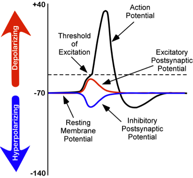 an action potential in a neuron Physiology of cardiac conduction and contractility   physiology of cardiac conduction and contractility  action potential in cardiomyocytes.