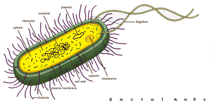 bacteria diagram   clipart best    bacteria diagram images  amp  pictures   becuo