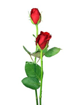 Picture Of Red Rose With Stem - ClipArt Best