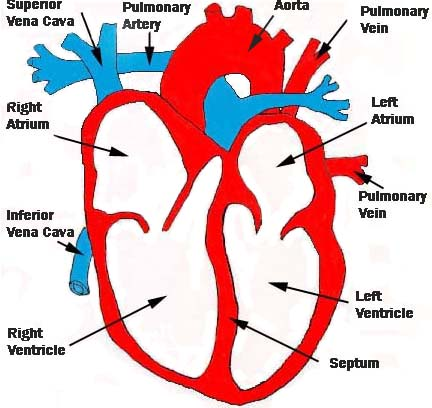 Simple Heart Diagram For Kids 15 Simple Heart Diagram For