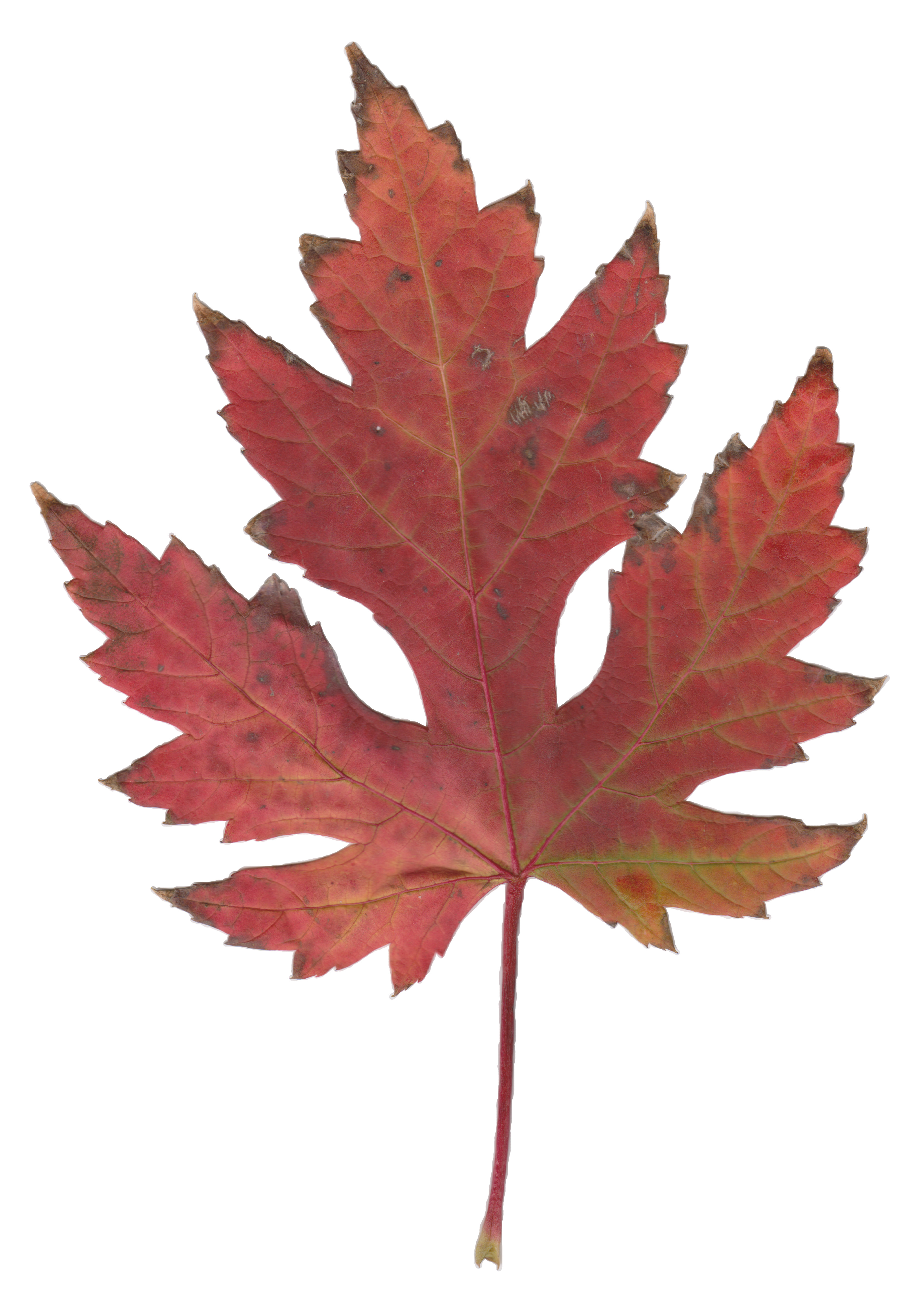 Maple Leaves Pictures - ClipArt Best