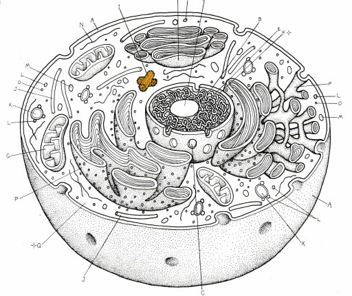 Animal Cell Without Labels - ClipArt Best