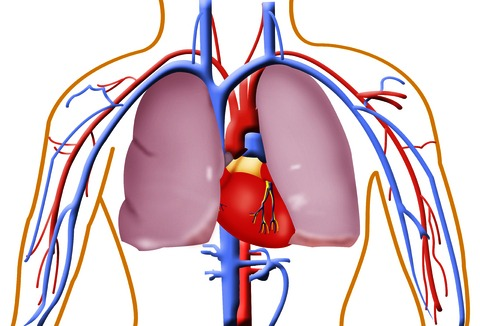 Circulatory System Diagram Not Labeled - ClipArt Best