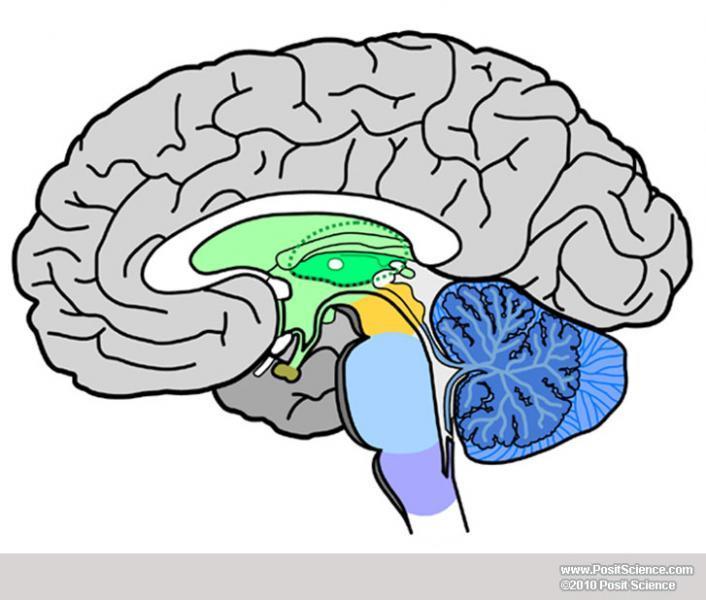 Blank Brain Diagrams - ClipArt Best