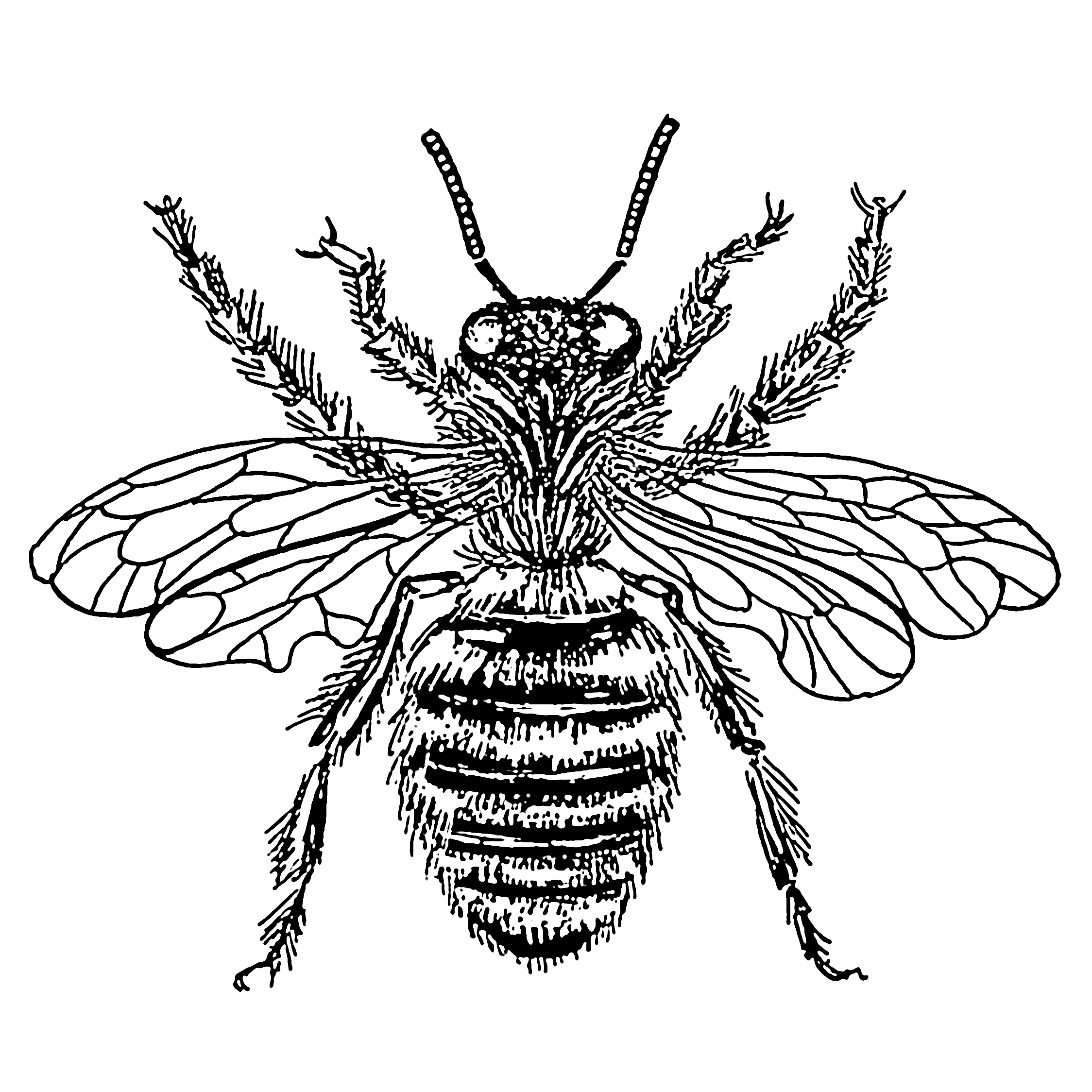 Line Drawing Bee : Bee line drawing clipart best