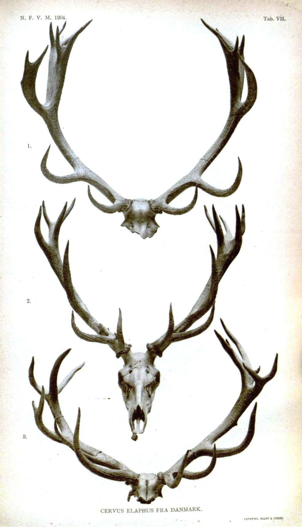 antlers singles Got this thread started in the classifieds folder where rep1954 gave me some sambar stags for a sbh realized that it needs to be here in the gallery.