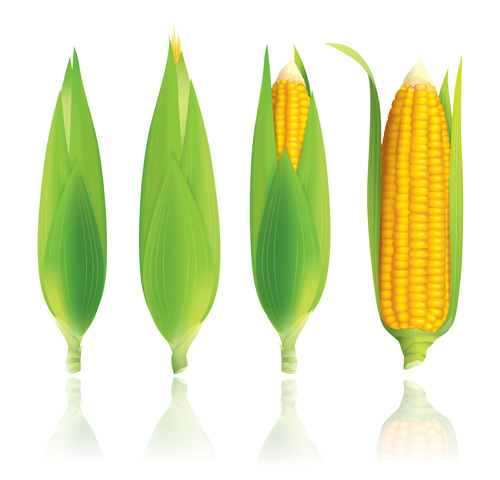 corn vector for free download