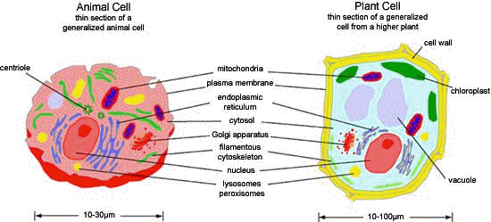Simple Plant Cell - ClipArt Best