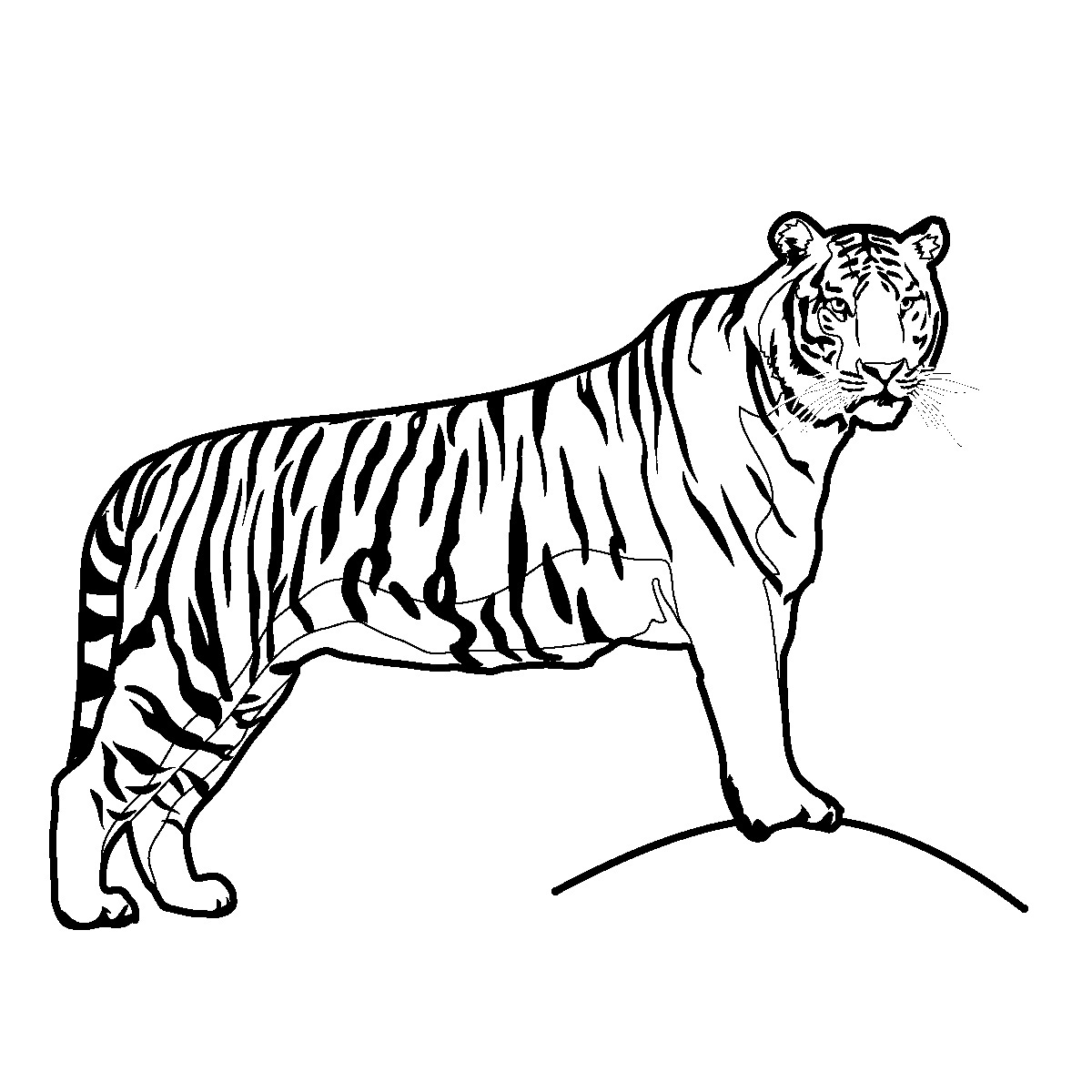 Line Drawing Tiger : Tiger line drawing clipart best