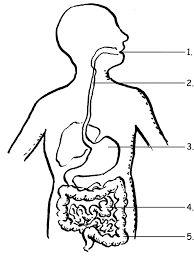 digestive system blank - photo #24
