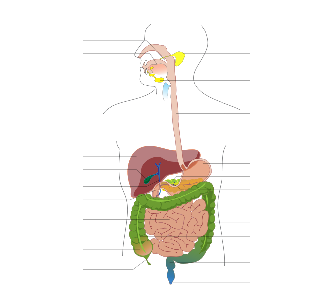 10 digestive system diagram blank . Free cliparts that you can ...