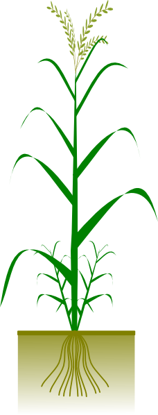 Wheat Plant Vector