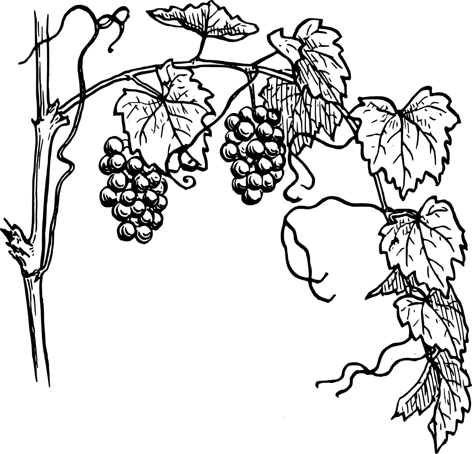 Line Drawing Vines : Grapes sketch clipart best