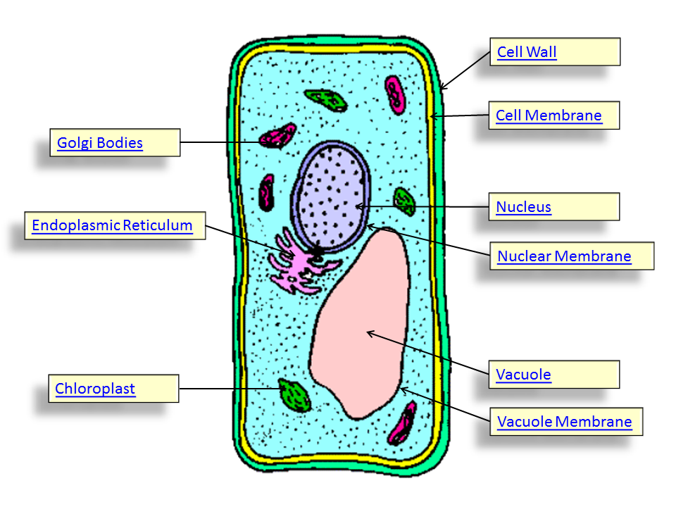 Simple Animal Cell And Plant Cell - ClipArt Best - ClipArt ...