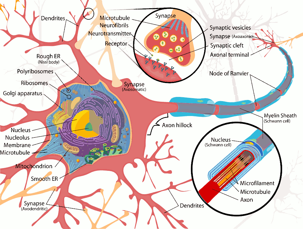 Nerve Cell Diagram - ClipArt Best