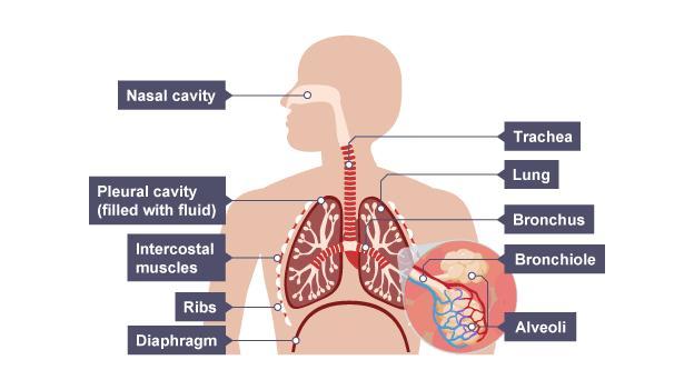 BBC  GCSE Bitesize Science  Respiratory systems