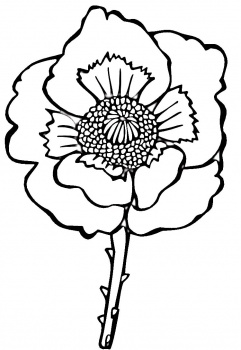 Poppy flower drawing clipart best for Poppy flower coloring page