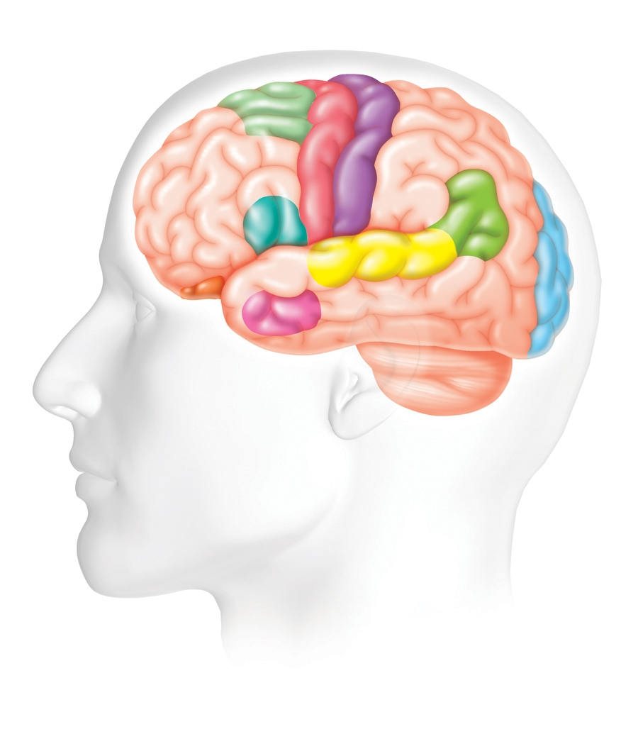 human brain diagram for kids - photo #31