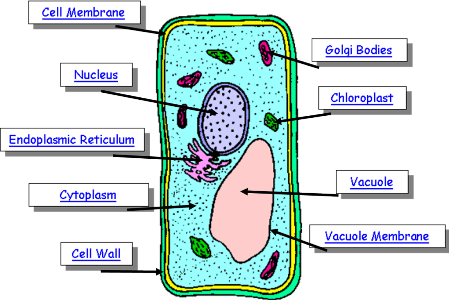 Diagram Of Cell - ClipArt Best