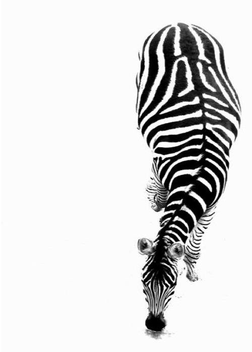 Tumblr Zebra Backgroun...