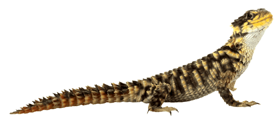 Komodo Dragon Clipart - ClipArt Best