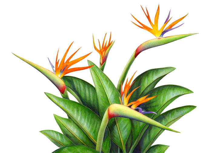bird of paradise drawing clipart best