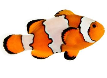 Outline Clownfish - ClipArt Best