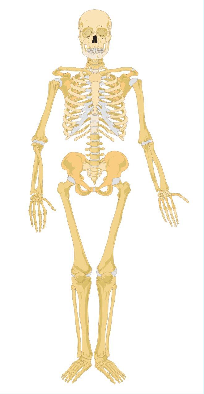Human Skeletal System Diagram Unlabeled Human Skeletal System