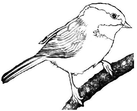 Chickadee Bird Coloring Pages Clipart Best Clipart Best Clipart Best