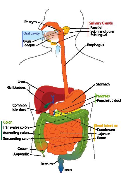 Digestive System Diagram En clip art - vector clip art online ...
