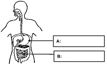 digestive system blank - photo #16